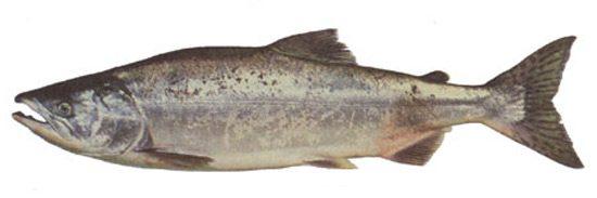 pink-salmon